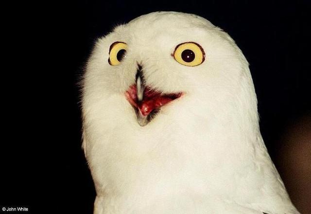 Snowy-Owl-Nyctea-scandiaca-006-by-John-White-m