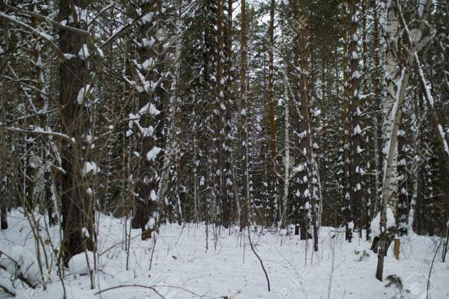 70325149-winter-forest-siberia-russian-taiga-outdoor-stock-photo