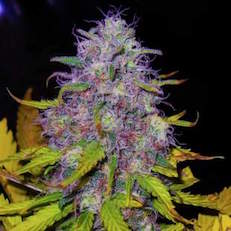 RED-COBRA-WEED