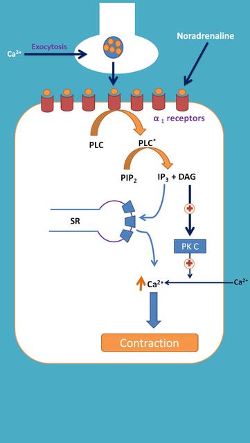 alpha1-receptors-contraction.png
