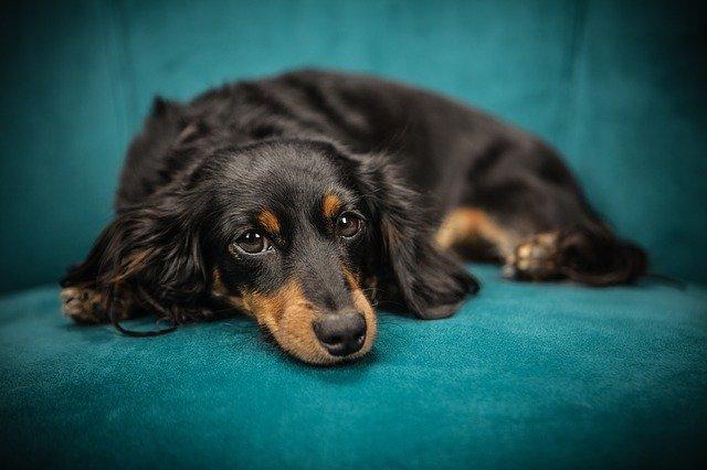 dog-2561134-640