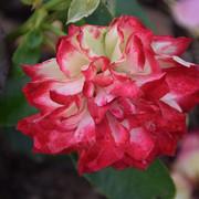 roze33