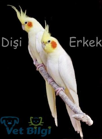 lutino sultan papagani cinsiyet