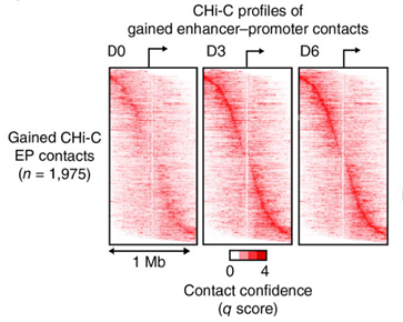 <strong>Title of the image</strong>: Heat maps of CHi-C q scores (determined by CHiCAGO) for 1,975 enhancer contacts gained with target promoters during epidermal cell differentiation. Contacts are sorted in order of enhancer–promoter (EP) distance