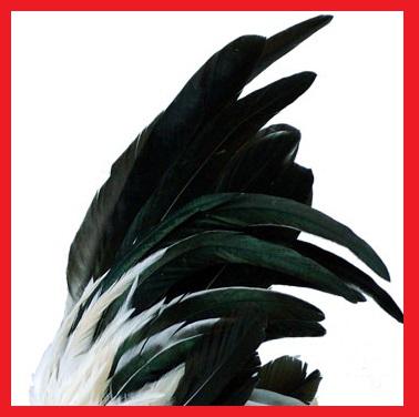 [Image: coq-chabo-nagasaki-blanche-queue-noire-p...-crete.jpg]