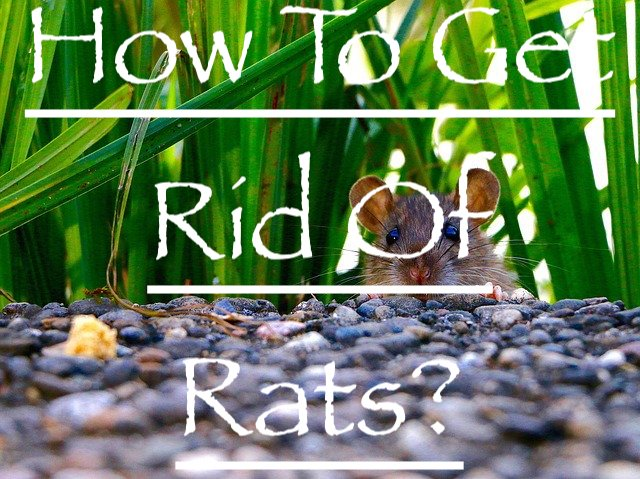 how to get rid of rats in Melbourne cover image