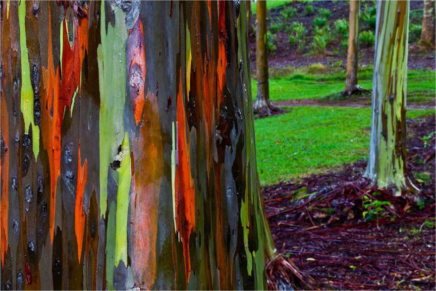 Радужные эвкалипты в Кауаи, Гавайи-19-2