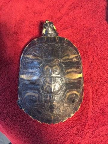 Sexage tortue de Floride T3
