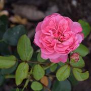 roze32