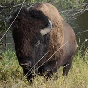 [Bild: bison.jpg]