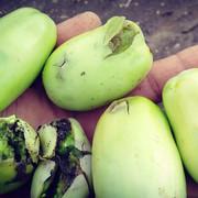 pomodori-Lesina