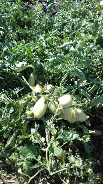 Pomodori-Gargano