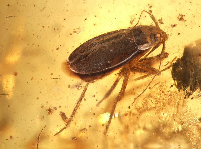 6682-Rare-Heteroptera-bug