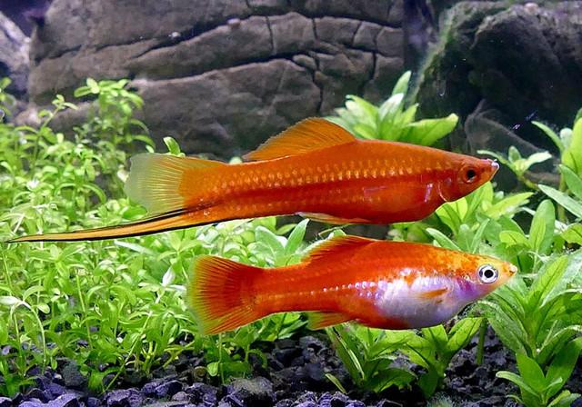 Xiphophorus-helleri-red-1