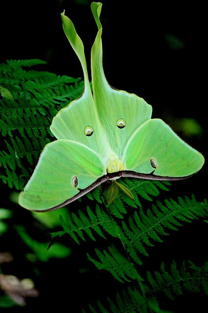 An image of a bright green moth.
