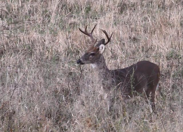 7 Point Buck