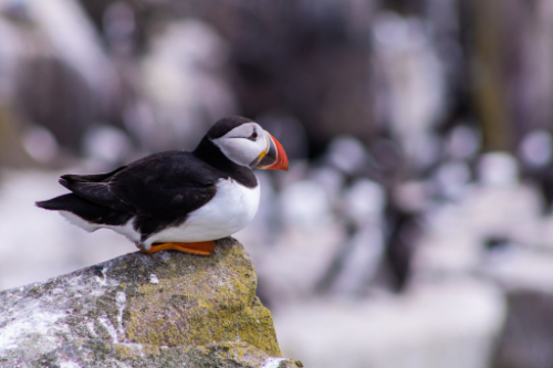 An image of a puffin.