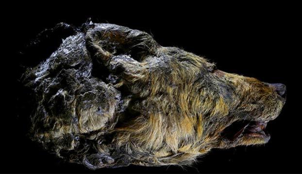 cabeza-lobo-gigante-3