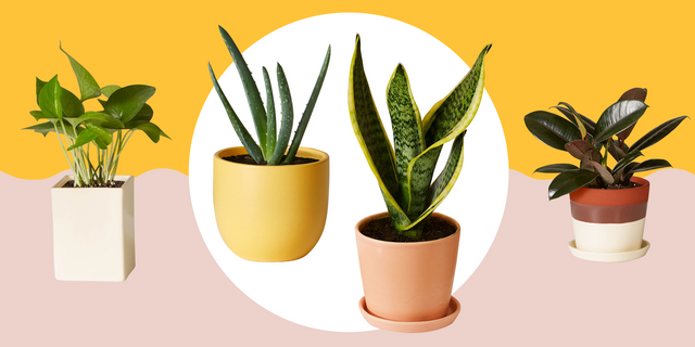 Interior plants, Suitable for Beginners