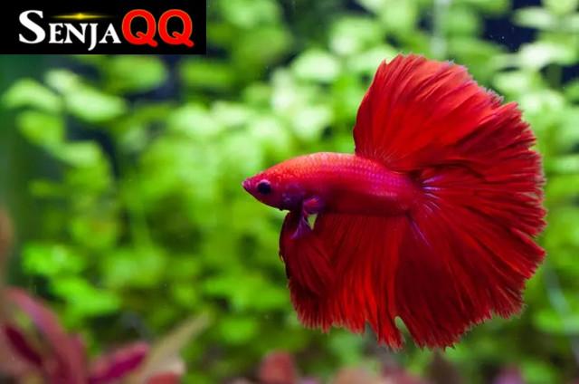 Ketahui 6 Jenis Ikan Cupang yang Cocok Dipelihara di Rumah
