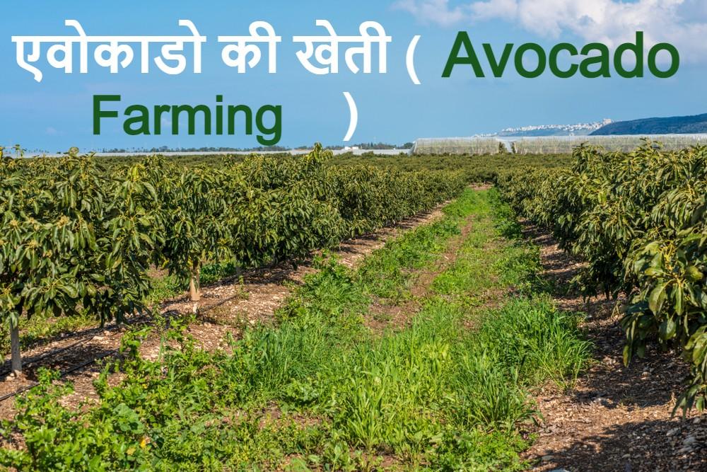 क्या आप भारत में एवोकैडो उगा सकते हैं?
