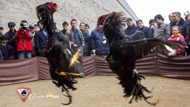 Tragis, Pria India Tewas Diserang dan Ditusuk Ayam Jago