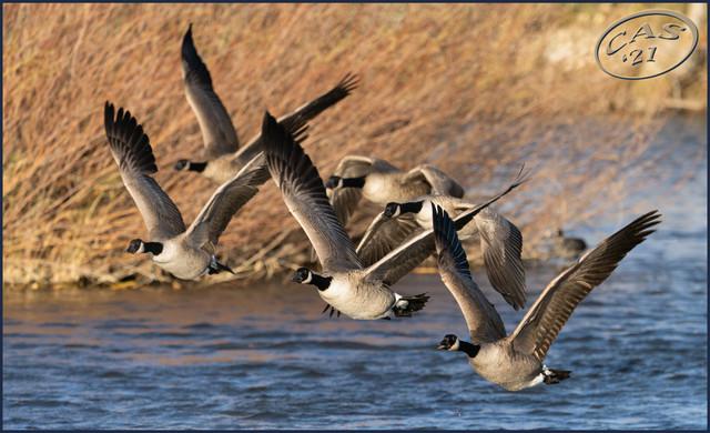 flying-geese-CAS08262.jpg
