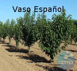 Spanish Bush (SB), Vaso Español, poda en vaso bajo, formación cerezo
