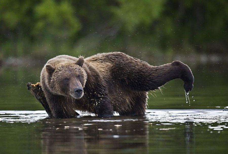 Невероятные фотографии медведей 12