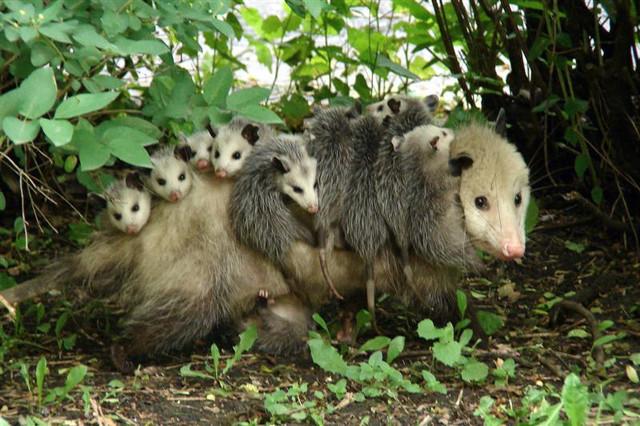 opossom-virginia
