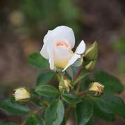 roze16