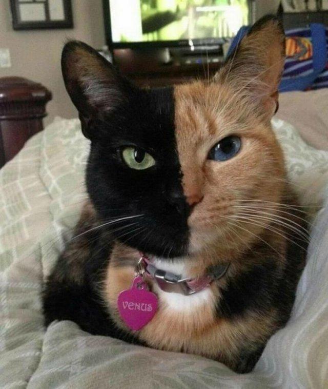 Необычная кошка по кличке Венера