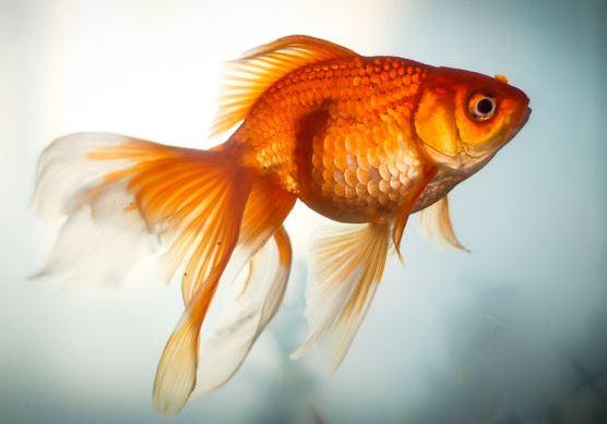Always catch goldfish / Высокий шанс поймать золотую рыбку