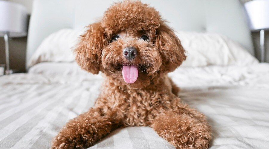 Why Poodle Breed Dogs Make Great Pets