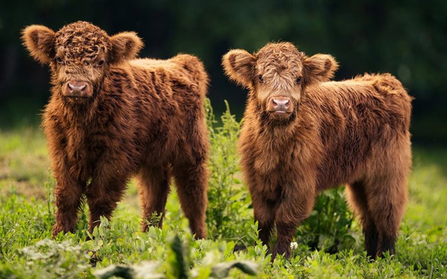 thumb2-small-bulls-cute-animals-brown-bulls-mountains-farm