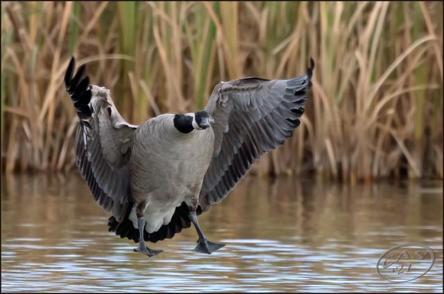 goose-landing-PSEM-CAS08435.jpg