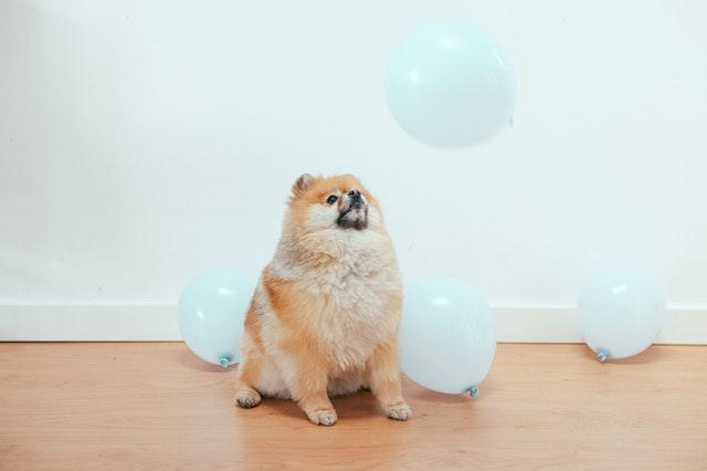 https://i.ibb.co/8Kcvwcq/Pomeranian-dog.jpg