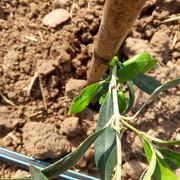 Anomalías en mi plantación (Badajoz) Olivo-1