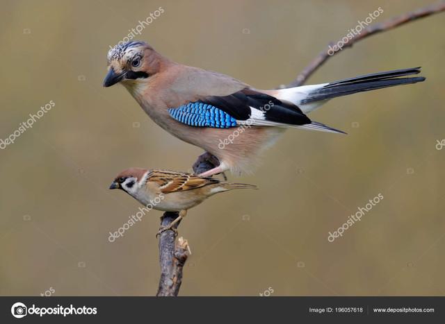 depositphotos-196057618-stock-photo-eurasian-jay-tree-sparrow-size