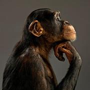 Chimpanzee-in-thinker-profile