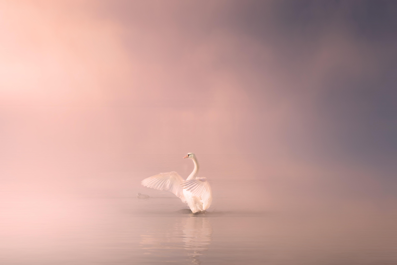 swan-4170400