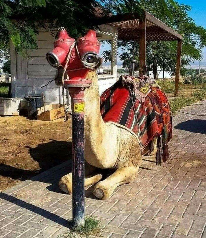 верблюд и гидрант