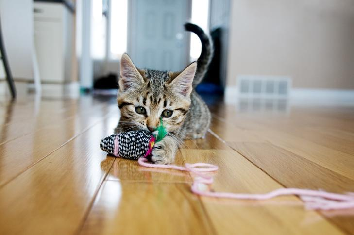 Future Cat Owners: Read Our 5 Basic Tips for Acquiring a Kitten