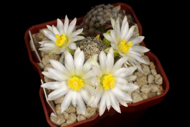 Mammillaria hernandezii albiflora