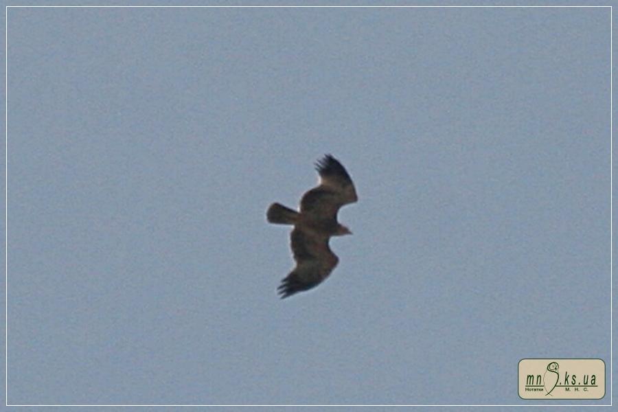 Могильник (Aquila heliaca) в Чорноморському біосферному заповіднику