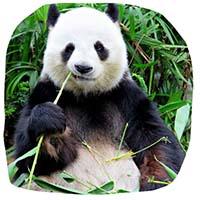 Royaume Panda géant chine