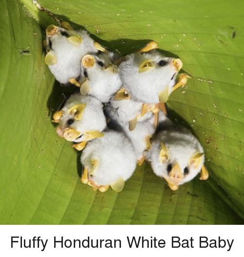 [صورة: honduran-white-bat-baby.png]