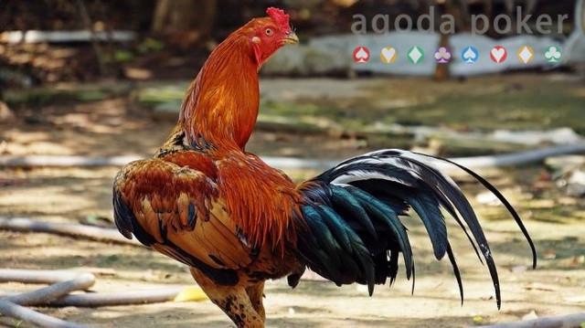 Menang di Pengadilan, Ayam Jantan Ini Boleh Berkokok Sesukanya