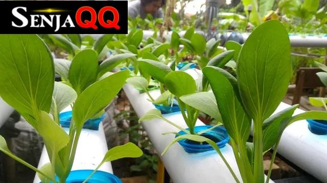 12 Jenis Tanaman Tumbuhan Hidroponik, Jangan Asal Pilih