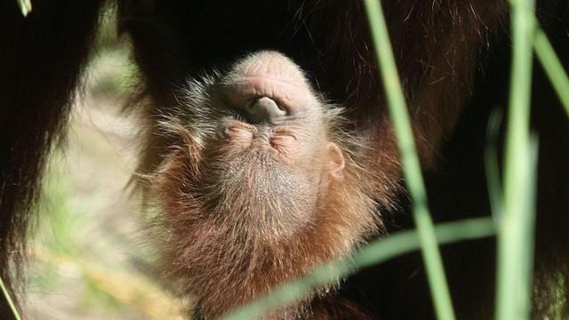 Un-cucciolo-di-orango-nato-lo-scorso-luglio-allo-zoo-Audubon-a-New-Orleans-Louisiana-Jonathan-Vogel-